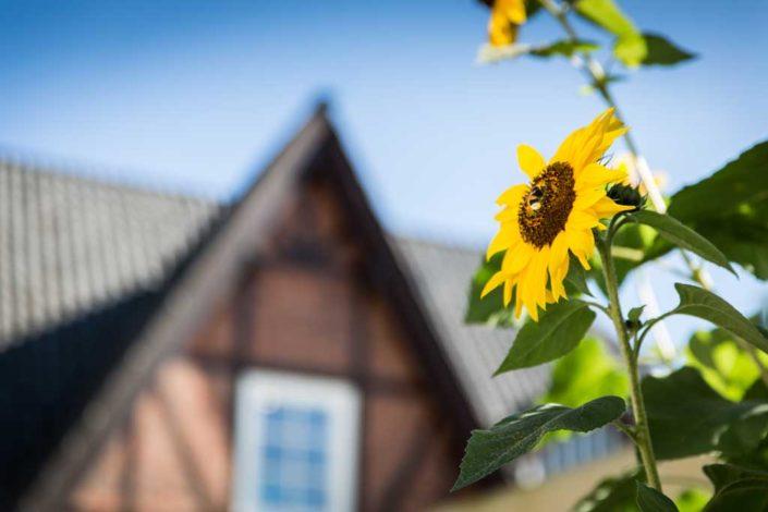 Eine blühende Sonnenblume vor der Alster Au
